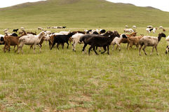 Cows and bulls Stock Photography