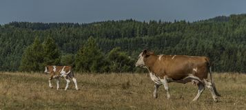 Cows and bulls running over pasture land Royalty Free Stock Images