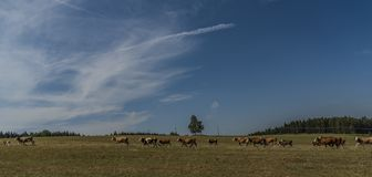 Cows and bulls running over pasture land Stock Photography
