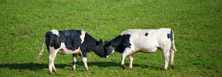 Cows butting heads Royalty Free Stock Photos