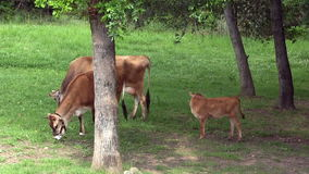 Cows And Calf Grazing Grass Under Trees stock video footage