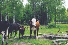Cows with Calf in Green Pasture Royalty Free Stock Photos