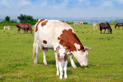 Cows calf and horses Stock Image