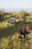 Cows and calf between olive trees with blue sea in the backgroun Royalty Free Stock Photos