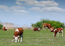 Cows and calf on pasture Stock Photos