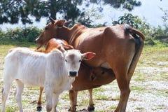 Cows calf Royalty Free Stock Photos