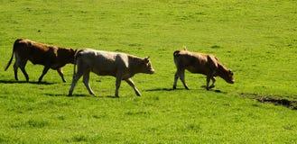 Cows and calf walking Royalty Free Stock Photos