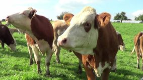 Cows and calfs on the meadow stock footage