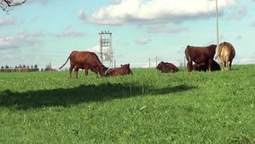 Cows and calfs on the meadow stock video