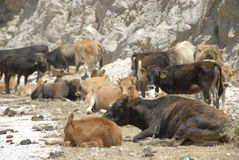 Cows and calfs in the mountains of Greece Royalty Free Stock Photos
