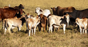 Cows and calves Stock Photo