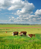 Cows and calves in a Field Royalty Free Stock Images