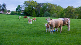 Cows and calves in field. Royalty Free Stock Image