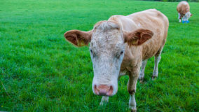 Cows and calves in field. Stock Photos