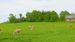 Cows and calves grazing stock footage