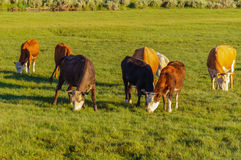 Cows and calves grazing in a meadow Royalty Free Stock Photo