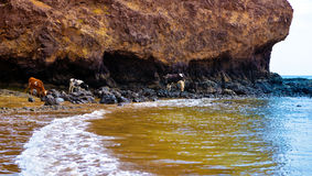 Cows and Calves Grazing on Rocky Shore, Seashore Feeding, Tropical Scene, Cape Verde. Two spotted dairy cows and two calves, one black and another one light Stock Photo