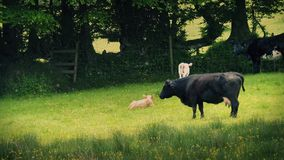 Cows And Calves In Meadow With Pollen Blowing stock video