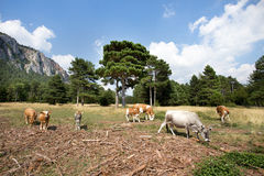 Cows and calves in mountain landscape Stock Images