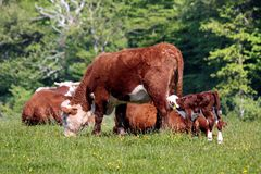 Cows and calves Royalty Free Stock Photos