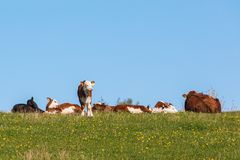 Cows and calves resting Stock Photos