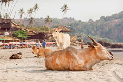 Cows and calves sitting on the sand near the ocean resorts under palm trees, village in Goa, India. Stock Images
