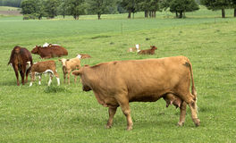 Cows and calves Royalty Free Stock Images