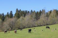 Cows with calves at spring Royalty Free Stock Photos