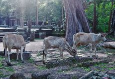 Cows of Cambodia Stock Photography