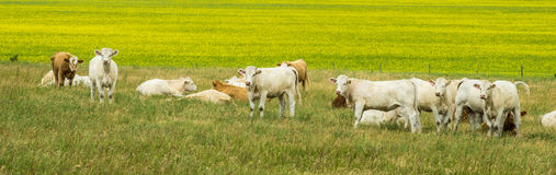 Cows and canola field Stock Image
