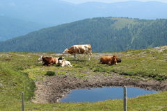 Cows in the Carinthian mountains. Cows in the southern part of the Austrian Alps, 1,100 meters up in the picturesque Bad Kleinkirchheim Royalty Free Stock Image