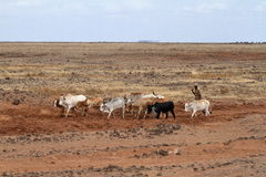 Cows and cattle breeders in the north of Kenya Royalty Free Stock Photos