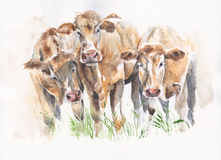Cows cattle friends watercolor illustration handmade isolated on white background. Cows cattle friends watercolor illustration handmade isolated on white Stock Photo
