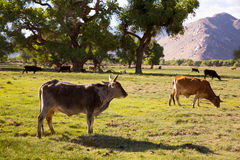 Cows cattle grazing in California meadows Royalty Free Stock Photo