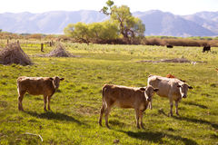 Cows cattle grazing in California meadows Stock Photo