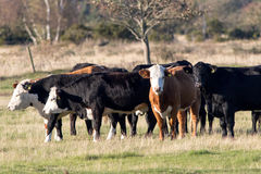 Cows. Cattle on the Island of Öland in Southern Sweden Royalty Free Stock Photo