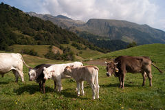 Cows. And cattle in mountain meadow Stock Photo