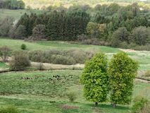 Cows cattle in Vejle River Valley, Denmark stock photography