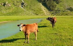 Cows in Caucasus Stock Photography