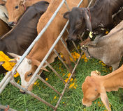 Cows in charity of Buddhism event  to free them from shambles Royalty Free Stock Images
