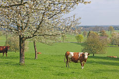 Cows in a cherry tree orchard at springtime Stock Image