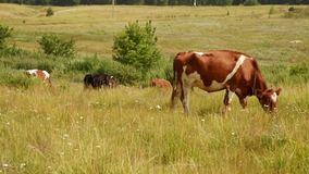 Cows chew grass in the meadow