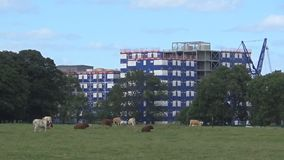 Cows in city14s. The cows graze in the park in Newcastle upon Tyne stock footage