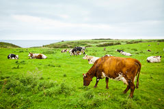 Cows on the cliff. Grazing group of cows in on a field at the top of Normandy's cliffs stock images