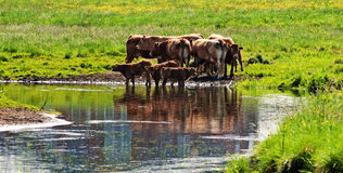 Cows close to river Royalty Free Stock Photography
