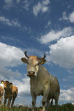 Cows and clouds. Curious cows under a dramatic sky Royalty Free Stock Photo