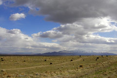 Cows and Clouds. Cattle dot the plains of northern Nevada, while rain-laden clouds hang overhead. Snow-capped mountains rise in the distance Royalty Free Stock Image