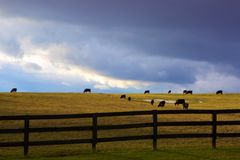 Cows and Clouds. Dramatic background sky.  Grazing, black cows.  Vibrant winter pasture with island of snow.  Dark, wooden fence in the foreground Royalty Free Stock Photos