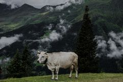 Cows Clouds and fog on the top of the mountain stock photography