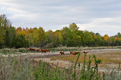 Cows. At the coast in autumn Stock Photography